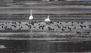 Waterfowl, Lake Hopatcong, NJ, Jan. 14, 2015 (photo by Jonathan Klizas)