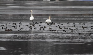 Waterfowl, Lake Hopatcong, NJ, Jan. 14, 2015 (photo by Jonathan Klizas)