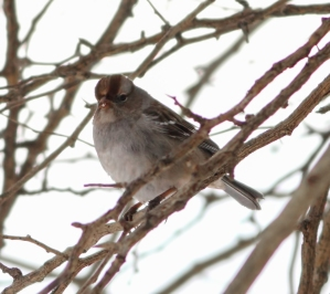 White-crowned Sparrow, Branchburg Twp., NJ, Jan. 30, 2015 (photo by Jonathan Klizas)