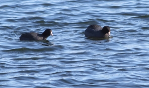 American Coots, Lk. Hopatcong, NJ, Feb. 28, 2015 (photo by Jonathan Klizas)