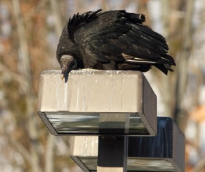 Black Vulture, Rockaway Twp., NJ, Feb. 28, 2015 (photo by Jonathan Klizas)