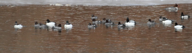 Common Goldeneye on the Raritan River, Franklin Twp., NJ, Feb. 25, 2015
