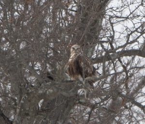 Rough-legged Hawk, Great Swamp NWR, NJ, Feb. 6, 2015 (photo by Chuck Hantis)