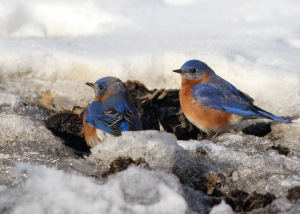 Eastern Bluebirds, Great Swamp NWR, NJ, Feb. 13, 2015 (photo by Jonathan Klizas)