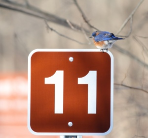 Eastern Bluebird, Great Swamp NWR, NJ, Feb. 13, 2015 (photo by Jonathan Klizas)
