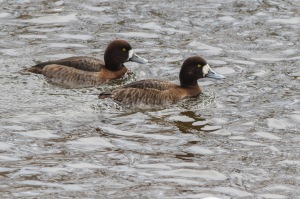 Greater Scaup, Duke Island Park, NJ, Feb. 26, 2015 (photo by Jonathan Klizas)