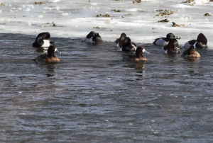 Greater Scaup with Ring-necked Ducks, Duke Island Park, NJ, Feb. 24, 2015 (photo by Jonathan Klizas)