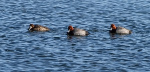 Greater Scaup, 2 Redheads, Lk. Hopatcong, NJ, Feb. 28, 2015 (photo by Jonathan Klizas)