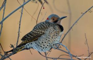 Northern Flicker, Great Swamp NWR, NJ, Feb. 17, 2015 (photo by Jason Denesevich)