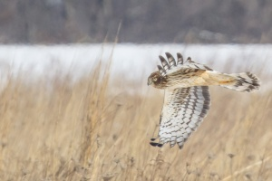 Northern Harrier, Negri-Nepote Grasslands, NJ, Feb. 18, 2015 (photo by Mike Newlon)