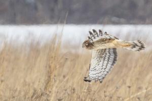 Northern Harrier, Negri-Nepote Grasslands, NJ, Feb. 18, 2015 (photo by Mike Newlon)