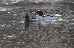 Red-breasted and Common Merganser drakes in the glare, Duke Island Park, NJ, Feb. 24, 2015 (photo by Jonathan Klizas)