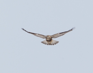 Rough-legged Hawk, Negri-Nepote Grasslands, NJ, Feb. 16, 2015 (Chris Duffek)