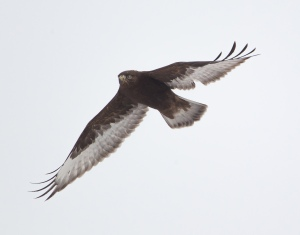 Rough-legged Hawk, Negri-Nepote Grasslands, NJ, Feb. 16, 2015 (Chris Duffek)