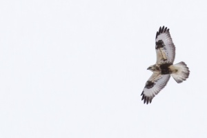 Rough-legged Hawk, Negri-Nepote Grasslands, NJ, Feb. 21, 2015 (photo by Mike Newlon)