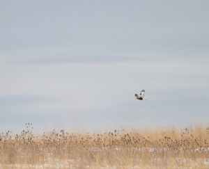 Rough-legged Hawk, Hillsborough Twp., NJ, Feb. 10, 2015 (photo by Jonathan Klizas)