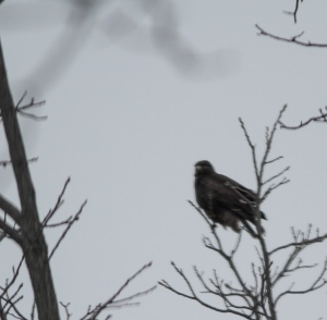 Rough-legged Hawk, Hillsborough Twp., NJ, Feb. 9, 2015 (ID photo by Jonathan Klizas)
