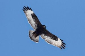 Rough-legged Hawk, Negri-Nepote Grasslands, NJ, Feb. 27, 2015 (photo by Steve Byland)
