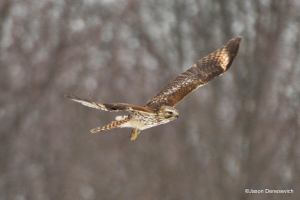 Red-shouldered Hawk, Great Swamp NWR, NJ, Feb. 8, 2015  (photo by Jason Denesevich)