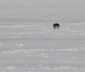 Red-tailed Hawk, Budd Lake, NJ, Feb. 12, 2015 (photo by Jonathan Klizas)