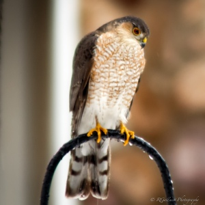 Sharp-shinned Hawk, Somerset County, NJ, Feb. 2015 (photo by Robert Gallucci)