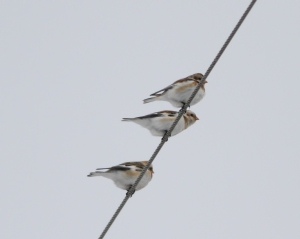 Snow Buntings, Hillsborough Twp., NJ, Feb. 9, 2015 (photo by Jonathan Klizas)