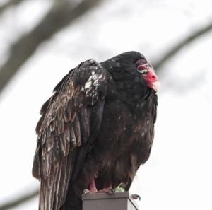 Turkey Vulture, Rockaway Twp., NJ, Feb. 8, 2015 (photo by Jonathan Klizas)