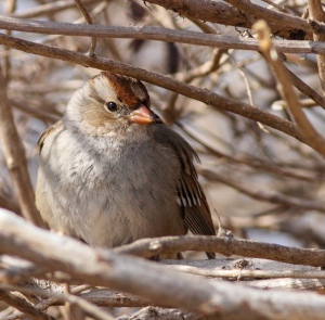White-crowned Sparrow, Branchburg Twp., NJ, Feb. 25, 2015 (photo by Jonathan Klizas)