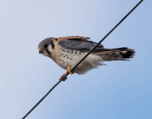 American Kestrel, Great Swamp NWR, Mar. 17, 2015 (photo by Chuck Hantis)