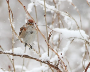 American Tree Sparrow, Great Swamp NWR, NJ, Mar. 20, 2015 (photo by Jonathan Klizas)