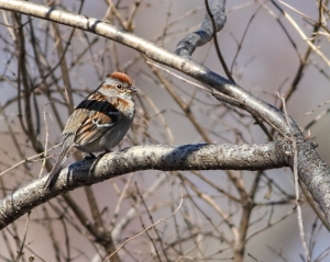 American Tree Sparrow, Lincoln Park, NJ, Mar. 29, 2015 (photo by Jonathan Klizas)