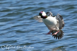 Bufflehead, Lake Hopatcong, NJ, Mar. 22, 2015 (photo by Mitch Van Beekum)