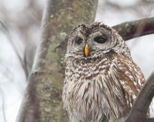 Barred Owl, Morris County, NJ, Mar. 14, 2015 (photo by Jonathan Klizas)