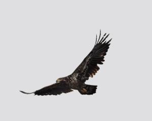 Bald Eagle, Melanie Lane Wetlands, Hanover Twp., NJ, Mar. 21, 2015 (photo by Jonathan Klizas)