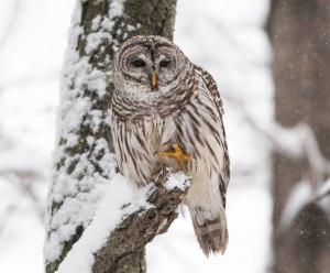 Barred Owl, Morris County, NJ, Mar. 5, 2015 (photo by Chuck Hantis)