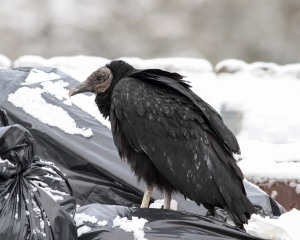 Black Vulture, Rockaway Twp., NJ, Mar. 21, 2015 (photo by Jonathan Klizas)