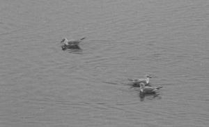 Bonaparte's Gulls, Boonton Reservoir, NJ, Mar. 26, 2015 (documentation photo by Jonathan Klizas)