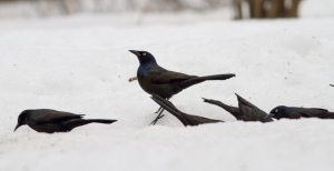 Common Grackles, Great Swamp NWR, NJ, Mar. 10, 2015 (photo by Jonathan Klizas)