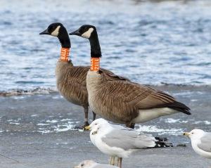 Collared Canada Geese, Hanover Twp., NJ, Mar. 17, 2015 (photo by Jonathan Klizas)