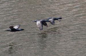 Double-crested Cormorants, Boonton Reservoir, NJ, Mar. 22, 2015 (photo by Jonathan Klizas)