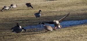 Greater White-fronted Goose, Duke Island Park, NJ, Mar. 17, 2015 (photo by Jageshwar Benimadho)