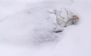 Bald Eagle incubating in the nest, Duke Farms, NJ, Mar. 5, 2015 (screen shot from Eagle Cam)