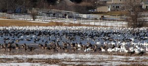 Geese in Long Valley, NJ, Mar. 18, 2015 (photo by Jonathan Klizas)