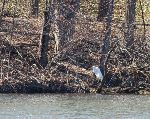 Great Egret, Lincoln Park, NJ, Mar. 29, 2015 (photo by Jonathan Klizas)