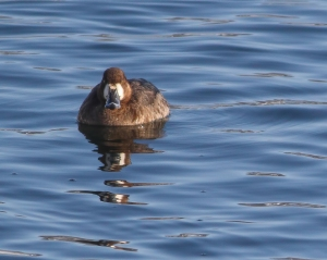 Greater Scaup, Lake Hopatcong, NJ, Mar. 7, 2015 (photo by Jonathan Klizas)