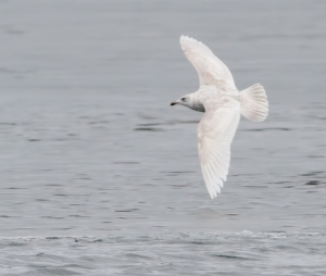 Iceland Gull, Lake Parsippany, Mar. 30, 2015 (photo by Jonathan Klizas)