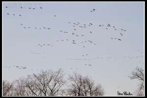 Canada Geese, Duke Island Park, NJ, Mar. 23, 2015 (photo by Dave Blinder)
