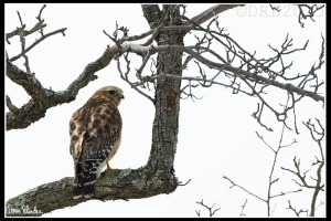Red-shouldered Hawk, Rockaway Twp., NJ, Mar. 24, 2015 (photo by Dave Blinder)