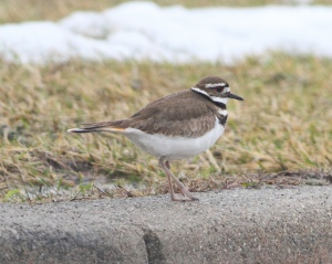 Killdeer, Melanie Lane Wetlands, Hanover, NJ, Mar. 14, 2015 (photo by Jonathan Klizas)