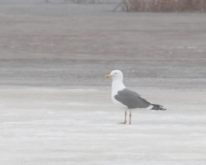 Lesser Black-backed Gull, Melanie Lane Wetlands, Hanover, NJ, Mar. 14, 2015 (photo by Jonathan Klizas)